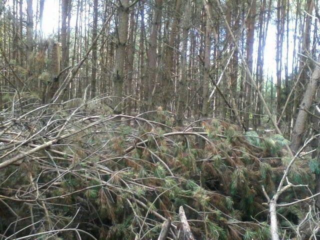 Vėjo išversto miško tvarkymas